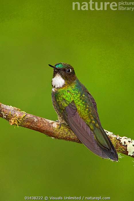 Tourmaline Sunangel (Heliangelus exortis) perched on a branch at Guango Lodge in Ecuador.  ,  BIRDS,COPYSPACE,CUTOUT,HUMMINGBIRD,HUMMINGBIRDS,IRRIDESCENT,PORTRAITS,PROFILE,SOUTH AMERICA,VERTEBRATES,VERTICAL  ,  Visuals Unlimited