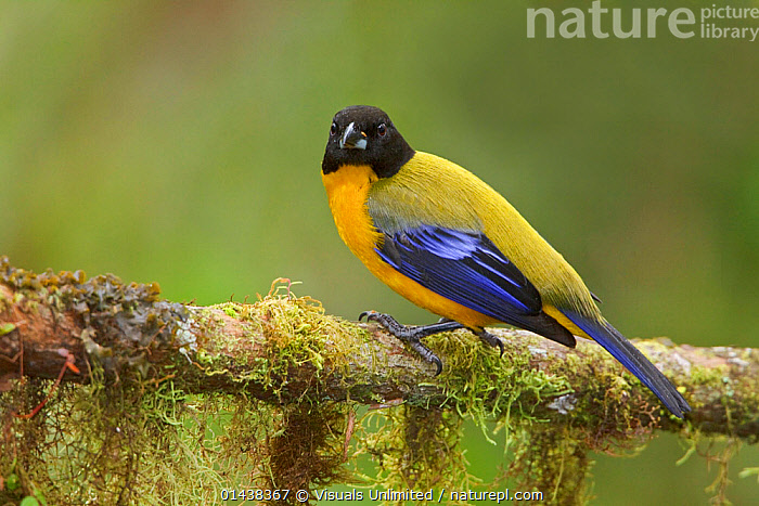 Black-chinned Mountain Tanager (Anisognathus notabilis) perched on a branch at the Mindo Loma Reserve in northwest Ecuador.  ,  BIRDS,COPYSPACE,ECUADOR,PORTRAITS,PROFILE,SONGBIRDS,SOUTH AMERICA,TANAGERS,THRAUPIDAE,VERTEBRATES  ,  Visuals Unlimited