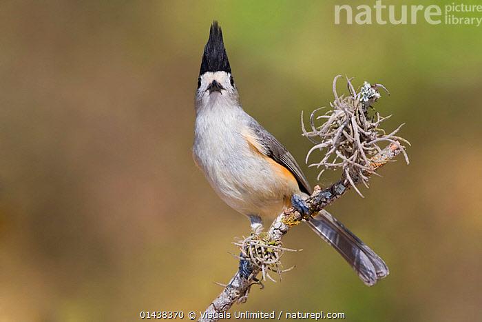Black crested Titmouse (Baeolophus atricristatus) perched on a branch in south Texas, USA.  ,  BIRDS,BLACK CRESTED,COPYSPACE,CRESTS,LOOKING AT CAMERA,NORTH AMERICA,PARIDAE,PORTRAITS,SONGBIRDS,TITS,USA,VERTEBRATES  ,  Visuals Unlimited