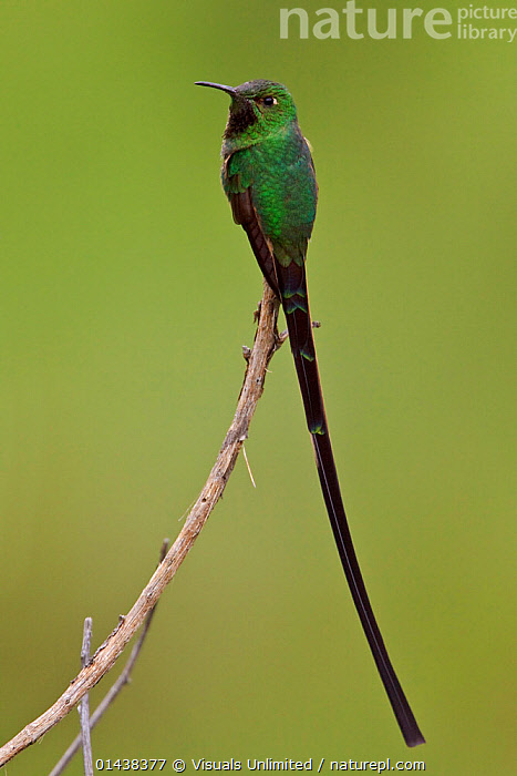 Black tailed Trainbearer Hummingbird (Lesbia victoriae) perched on a branch in the highlands of Ecuador.  ,  BIRDS,COPYSPACE,CUTOUT,HUMMINGBIRDS,IRRIDESCENT,PORTRAITS,PROFILE,SOUTH AMERICA,TAILS,TROCHILIDAE,VERTEBRATES,VERTICAL  ,  Visuals Unlimited