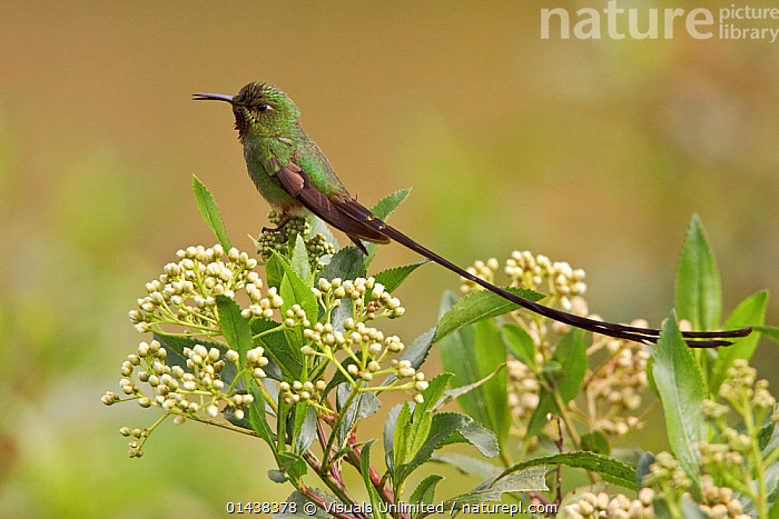 Black tailed Trainbearer Hummingbird (Lesbia victoriae) perched on a branch in the highlands of Ecuador.  ,  BIRDS,HUMMINGBIRDS,IRRIDESCENT,PROFILE,SOUTH AMERICA,TAILS,TROCHILIDAE,VERTEBRATES  ,  Visuals Unlimited