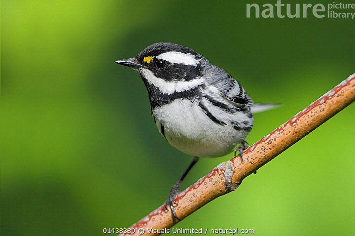 Black-throated gray warbler (Dendroica nigrescens) perched on a branch, Victoria, British Columbia, Canada.  ,  ANIMAL,VERTEBRATE,BIRDS,SONGBIRD,NEW WORLD WARBLER,ANIMALIA,ANIMAL,WILDLIFE,VERTEBRATE,CHORDATE,AVES,BIRDS,PASSERIFORMES,SONGBIRD,PASSERINE,PARULIDAE,NEW WORLD WARBLER,WOOD WARBLER,WARBLER,SETOPHAGA,DENDROICA,NORTH AMERICA,CANADA,BRITISH COLUMBIA,COPY SPACE,PORTRAIT,NEGATIVE SPACE,SETOPHAGA NIGRESCENS,DENDROICA NIGRESCENS  ,  Visuals  Unlimited