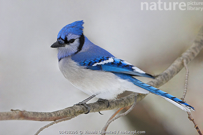 Blue Jay (Cyanocitta cristata) perched on a branch with a snowy background in Ontario, Canada., BIRDS,CANADA,CORVIDAE,JAYS,NORTH AMERICA,PORTRAITS,PROFILE,SONGBIRDS,VERTEBRATES, Visuals Unlimited