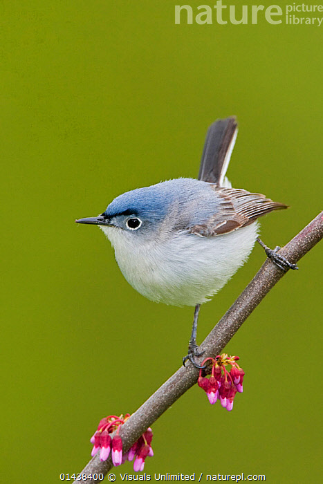 Blue gray Gnatcatcher (Polioptila caerulea) perched on a Redbud branch, Ontario, Canada.  ,  BIRDS,CANADA,COPYSPACE,CUTOUT,GNATCATCHERS,NORTH AMERICA,POLIOPTILIDAE,PORTRAITS,PROFILE,SONGBIRDS,VERTEBRATES,VERTICAL  ,  Visuals Unlimited