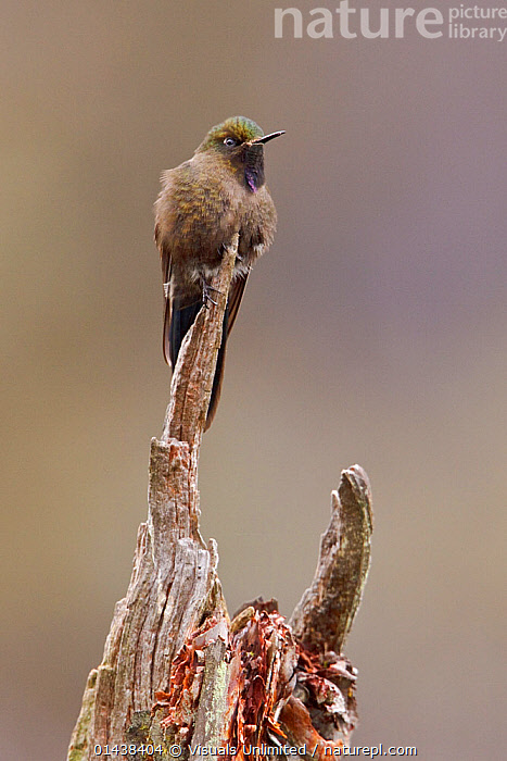 Blue-mantled Thornbill (Chalcostigma stanleyi) perched on a branch in Cajas National Park in southern Ecuador.  ,  BIRDS,COPYSPACE,HUMMINGBIRDS,NATIONAL PARK,NP,RESERVE,SOUTH AMERICA,TROCHILIDAE,VERTEBRATES,VERTICAL  ,  Visuals Unlimited