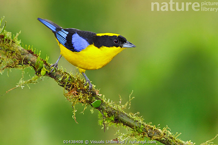 Blue winged Mountain Tanager (Anisognathus somptuosus) perched on a branch at the Mindo Loma Reserve in northwest Ecuador.  ,  BIRDS,COPYSPACE,FLAVINUCHA,PORTRAITS,PROFILE,SONGBIRDS,SOUTH AMERICA,TANAGERS,THRAUPIDAE,VERTEBRATES  ,  Visuals Unlimited