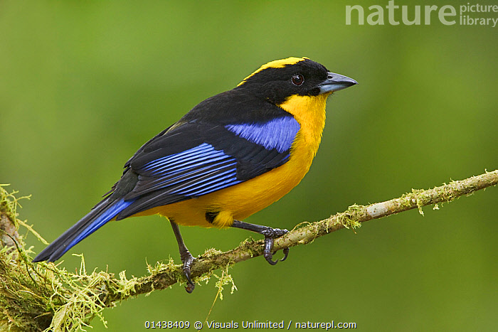 Blue winged Mountain Tanager (Anisognathus somptuosus) perched on a branch at the Mindo Loma Reserve in northwest Ecuador.  ,  BIRDS,COPYSPACE,CUTOUT,FLAVINUCHA,PORTRAITS,PROFILE,SONGBIRDS,SOUTH AMERICA,TANAGERS,THRAUPIDAE,VERTEBRATES  ,  Visuals Unlimited