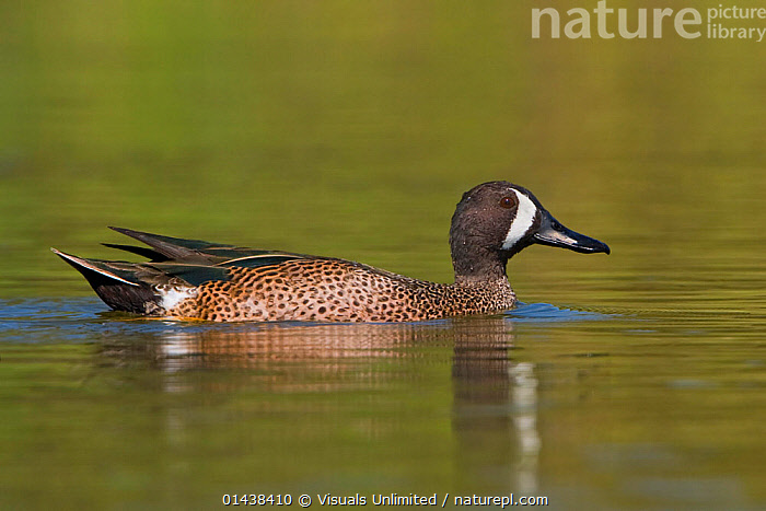 Blue winged Teal (Anas discors) male swimming in Houston, Texas, USA.  ,  BIRDS,COPYSPACE,DRAKE,DUCKS,MALES,NORTH AMERICA,PORTRAITS,PROFILE,SWIMMING,USA,VERTEBRATES,WATER,WATERFOWL,WETLANDS  ,  Visuals Unlimited