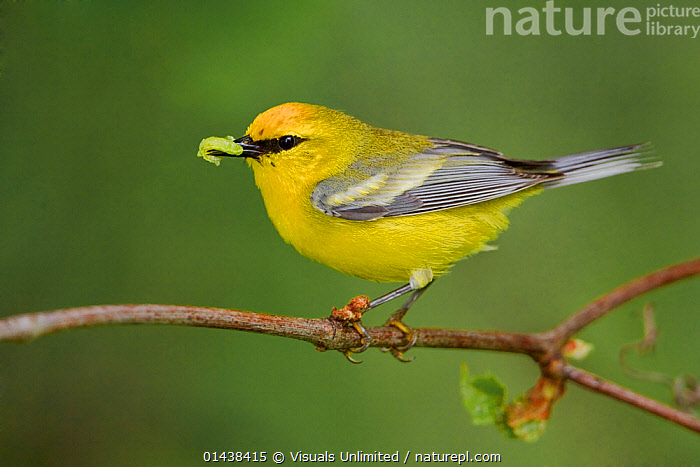 Blue winged Warbler (Vermivora pinus) perched on a branch with insect prey in its bill, Ontario, Canada.  ,  BIRDS,CANADA,COPYSPACE,CUTOUT,FEEDING,INSECTS,NORTH AMERICA,PARULIDAE,PORTRAITS,PREDATION,PROFILE,SONGBIRDS,VERTEBRATES,WARBLERS,YELLOW,Invertebrates,Behaviour  ,  Visuals Unlimited