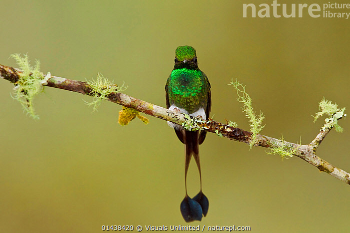 Booted Racket tail Hummingbird (Ocreatus underwoodii) male perched on a branch in the Tandayapa Valley of Ecuador.  ,  BIRDS,COPYSPACE,HUMMINGBIRDS,IRRIDESCENT,MALES,RESTING,SOUTH AMERICA,TAILS,VERTEBRATES  ,  Visuals Unlimited