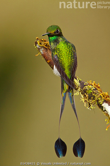 Booted Racket tail Hummingbird (Ocreatus underwoodii) male perched on a branch in the Tandayapa Valley of Ecuador.  ,  BIRDS,COPYSPACE,HUMMINGBIRDS,IRRIDESCENT,MALES,RESTING,SOUTH AMERICA,TAILS,VERTEBRATES,VERTICAL  ,  Visuals Unlimited