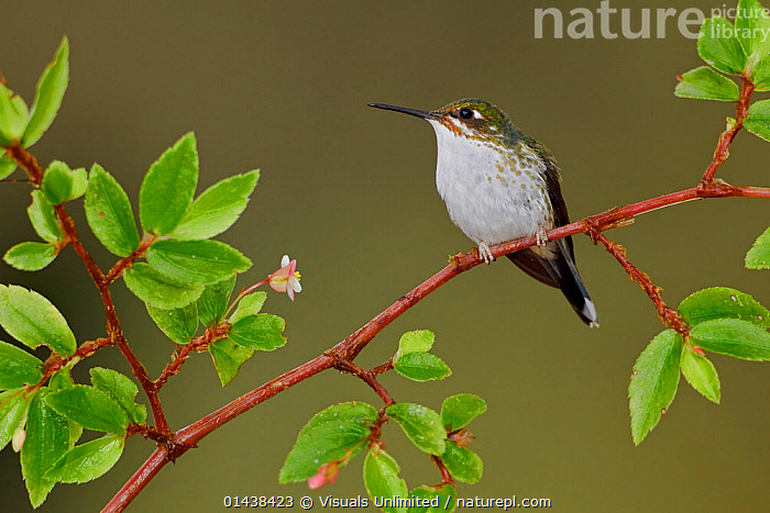 Booted Racket tail Hummingbird (Ocreatus underwoodii) female perched on a branch in the Tandayapa Valley, Ecuador.  ,  BIRDS,FEMALES,HUMMINGBIRDS,PORTRAITS,PROFILE,SOUTH AMERICA,VERTEBRATES  ,  Visuals Unlimited