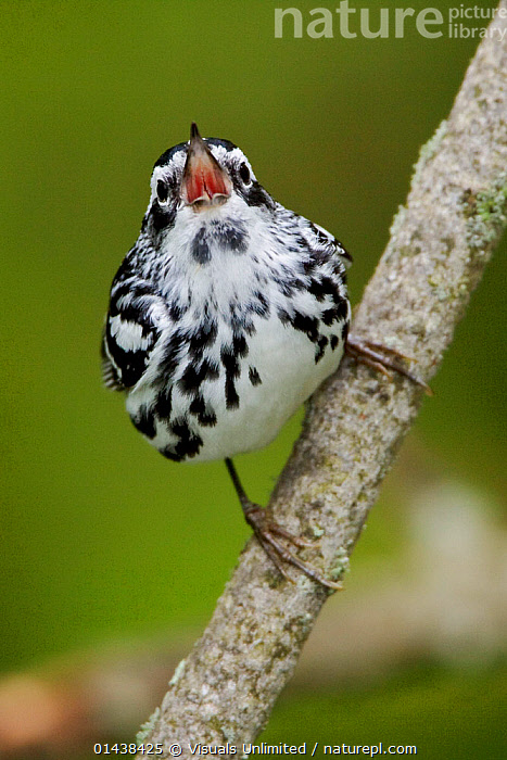 Black and White Warbler (Mniotilta varia) singing on a branch, Ontario, Canada.  ,  BIRDS,CALLING,CANADA,COMMUNICATION,COPYSPACE,LOOKING AT CAMERA,NORTH AMERICA,PARULIDAE,PORTRAITS,SINGING,SONGBIRDS,VERTEBRATES,VERTICAL,VOCALISATION,WARBLERS  ,  Visuals Unlimited