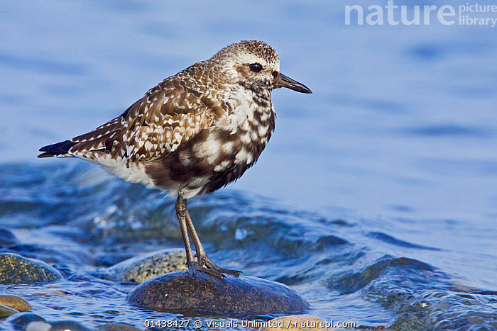 Grey / Black bellied Plover (Pluvialis squatarola) perched on a seaside rock in Washington, USA.  ,  BIRDS,BLACK BELLIED,CHARADRIIDAE,COASTS,COPYSPACE,NORTH AMERICA,PLOVERS,PORTRAITS,PROFILE,SEA,VERTEBRATES,WADERS,WATER  ,  Visuals Unlimited