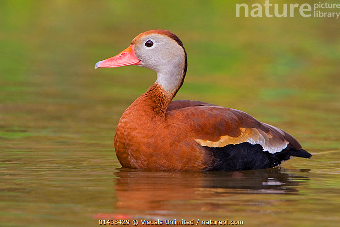 Black bellied Whistling Duck (Dendrocygna autumnalis) in water, Houston, Texas, USA.  ,  BIRDS,COPYSPACE,NORTH AMERICA,PORTRAITS,PROFILE,USA,VERTEBRATES,WATER,WATERFOWL,WHISTLING DUCKS  ,  Visuals Unlimited