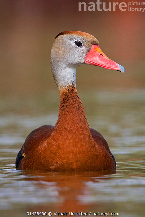 Black bellied Whistling Duck (Dendrocygna autumnalis) in water, Houston, Texas, USA.  ,  BIRDS,BLACK BELLIED,COPYSPACE,NORTH AMERICA,PORTRAITS,PROFILE,USA,VERTEBRATES,VERTICAL,WATERFOWL,WHISTLING DUCKS  ,  Visuals Unlimited