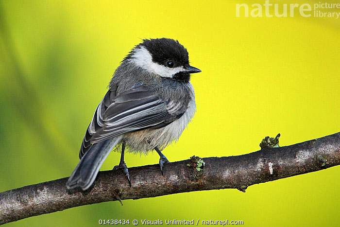 Black capped Chickadee (Poecile atricapillus) perched on a branch, Ontario Canada.  ,  BIRDS,BLACK CAPPED,CANADA,COPYSPACE,CUTOUT,MALES,NORTH AMERICA,PARIDAE,PORTRAITS,PROFILE,SONGBIRDS,TITS,VERTEBRATES  ,  Visuals Unlimited