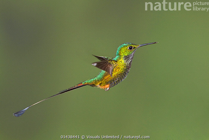 Booted Racket tail Hummingbird (Ocreatus underwoodii) male flying at the Wildsumaco Reserve in eastern Ecuador.  ,  BIRDS,COPYSPACE,FLIGHT,FLYING,HUMMINGBIRDS,IRRIDESCENT,MALES,PORTRAITS,PROFILE,SOUTH AMERICA,TAILS,VERTEBRATES  ,  Visuals Unlimited