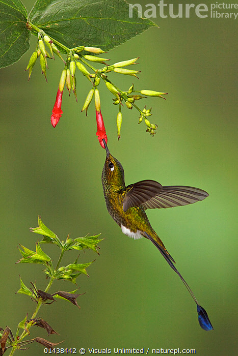 Booted Racket tail hummingbird (Ocreatus underwoodii) male flying and feeding at a red tubular flower in the Tandayapa Valley in Ecuador.  ,  BIRDS,COPYSPACE,FEEDING,FLOWERS,FLYING,HOVERING,HUMMINGBIRDS,IRRIDESCENT,MALES,PLANTS,PROFILE,SOUTH AMERICA,TAILS,TROPICS,VERTEBRATES,VERTICAL  ,  Visuals Unlimited