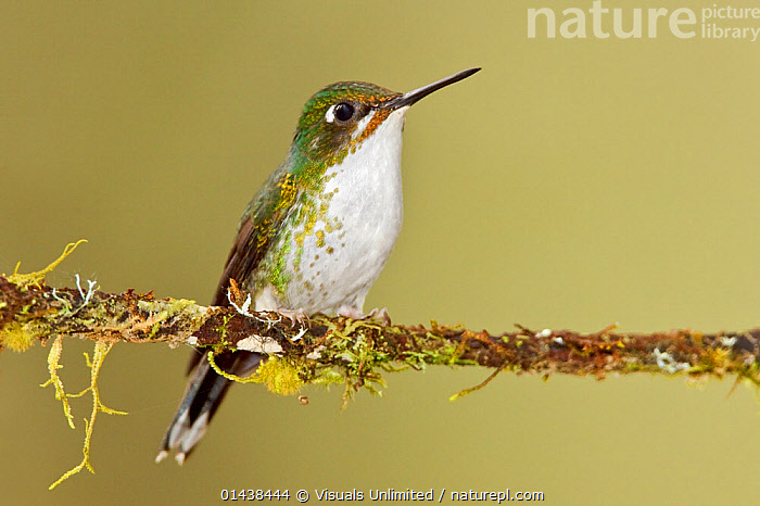 Booted Racket tail Hummingbird (Ocreatus underwoodii) female perched on a branch in the Tandayapa Valley of Ecuador.  ,  BIRDS,COPYSPACE,FEMALES,HUMMINGBIRDS,PORTRAITS,PROFILE,SOUTH AMERICA,VERTEBRATES  ,  Visuals Unlimited