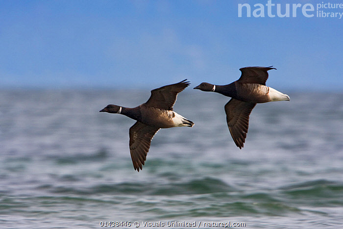 Brent Goose (Branta bernicla) flying over sea, Victoria, British Columbia, Canada.  ,  ANATIDAE,BIRDS,CANADA,FLIGHT,FLYING,GEESE,NORTH AMERICA,SEA,TWO,VERTEBRATES,WATER,WATERFOWL  ,  Visuals Unlimited