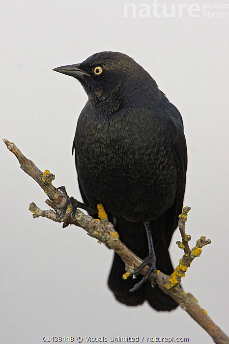 Brewer's Blackbird (Euphagus cyanocephalus), Victoria, British Columbia, Canada.  ,  BIRDS,BLACKBIRDS,CANADA,COPYSPACE,GRACKLES,ICTERIDAE,MALES,NORTH AMERICA,PORTRAITS,PROFILE,SONGBIRDS,VERTEBRATES,VERTICAL  ,  Visuals Unlimited