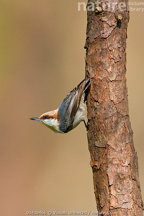 Brown headed Nuthatch (Sitta pusilla) perched on a branch in Houston, Texas, USA.  ,  BEHAVIOUR,BIRDS,COPYSPACE,CUTOUT,NORTH AMERICA,PASSERINE,PORTRAITS,PROFILE,SITTIDAE,TREES,TRUNKS,USA,VERTEBRATES,VERTICAL,PLANTS  ,  Visuals Unlimited