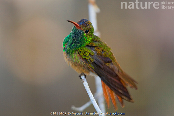 Buff bellied Hummingbird (Amazilia yucatanensis) perched on a branch in south Texas, USA.  ,  BIRDS,COPYSPACE,FEATHERS,HUMMINGBIRDS,IRRIDESCENT,NORTH AMERICA,PORTRAITS,USA,VERTEBRATES  ,  Visuals Unlimited