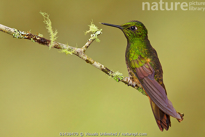 Buff tailed Coronet (Boissonneaua flavescens), Tandayapa Valley, Ecuador.  ,  BIRDS,COPYSPACE,CUTOUT,HUMMINGBIRDS,IRRIDESCENT,PORTRAITS,PROFILE,SOUTH AMERICA,VERTEBRATES  ,  Visuals Unlimited