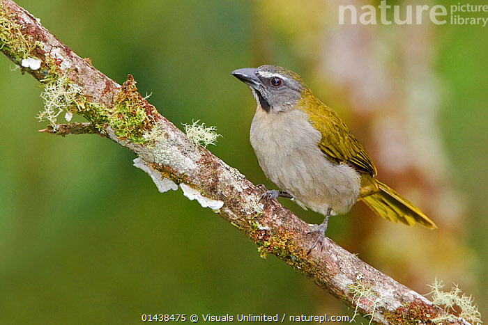 Buff throated Saltator (Saltator maximus) perched on a branch near Podocarpus National Park, Ecuador.  ,  BIRDS,CARDINALIDAE,NATIONAL PARK,NP,PASSERIFORMES,PORTRAITS,PROFILE,RESERVE,SOUTH AMERICA,VERTEBRATES  ,  Visuals Unlimited