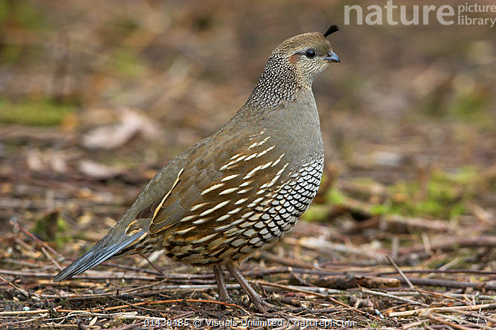 California Quail (Callipepla californica) standing on the ground in Victoria, British Columbia, Canada.  ,  BIRDS,CAMOUFLAGE,CANADA,GALLIFORMES,NORTH AMERICA,PORTRAITS,PROFILE,QUAIL,VERTEBRATES  ,  Visuals Unlimited