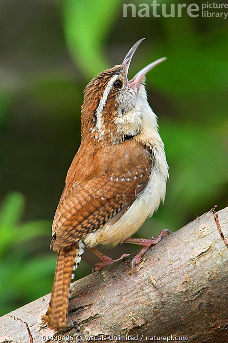 Carolina Wren (Thryothorus ludovicianus) singing on a branch in Toronto, Ontario, Canada.  ,  BIRDS,CALLING,CANADA,COMMUNICATION,NORTH AMERICA,PASSERIFORMES,PORTRAITS,PROFILE,SINGING,SONGBIRDS,TROGLODYTIDAE,VERTEBRATES,VERTICAL,VOCALISATION,WRENS  ,  Visuals Unlimited