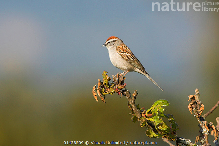 Chipping Sparrow (Spizella passerina) perched on a branch in Victoria, British Columbia, Canada.  ,  BIRDS,CANADA,COPYSPACE,EMBERIZIDAE,NORTH AMERICA,PORTRAITS,PROFILE,SONGBIRDS,SPARROWS,VERTEBRATES  ,  Visuals Unlimited