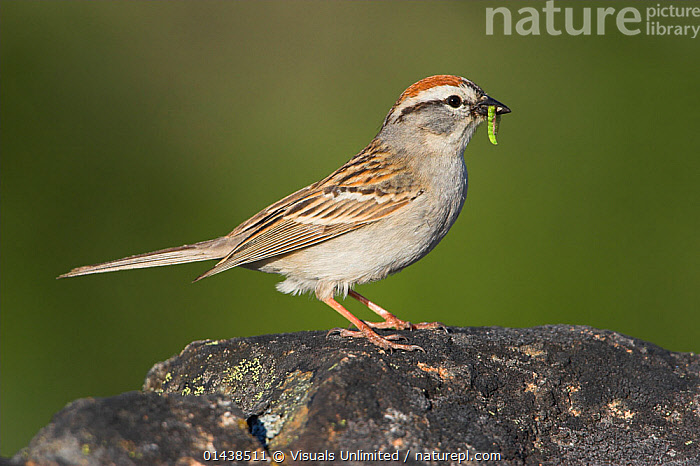 Chipping Sparrow (Spizella passerina) perched on a rock with insect prey in its bill, Victoria, British Columbia, Canada.  ,  BIRDS,CANADA,COPYSPACE,EMBERIZIDAE,FEEDING,INSECTS,NORTH AMERICA,PORTRAITS,PREY,PROFILE,SONGBIRDS,SPARROWS,VERTEBRATES,Invertebrates  ,  Visuals Unlimited