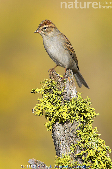 Chipping Sparrow (Spizella passerina) perched on a lichen covered stump in Bend, Oregon, USA.  ,  BIRDS,COPYSPACE,EMBERIZIDAE,NORTH AMERICA,PORTRAITS,PROFILE,SONGBIRDS,SPARROWS,USA,VERTEBRATES,VERTICAL  ,  Visuals Unlimited