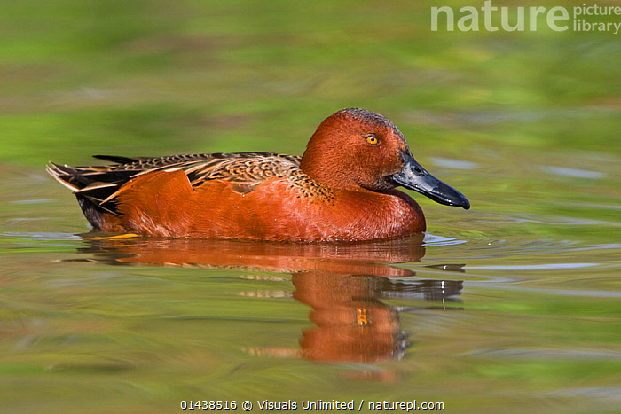 Cinnamon Teal (Anas cyanoptera) swimming in a pond in Houston, Texas, USA.  ,  BIRDS,DUCKS,NORTH AMERICA,PORTRAITS,PROFILE,SWIMMING,USA,VERTEBRATES,WATER,WATERFOWL  ,  Visuals Unlimited