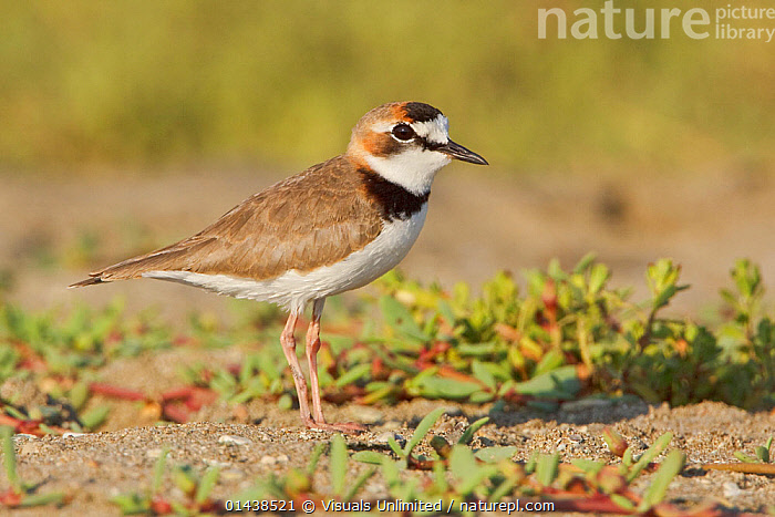 Collared Plover (Charadrius collaris) on the beach on the coast of Ecuador.  ,  BIRDS,PLOVERS,PORTRAITS,PROFILE,SOUTH AMERICA,VERTEBRATES,WADERS  ,  Visuals Unlimited