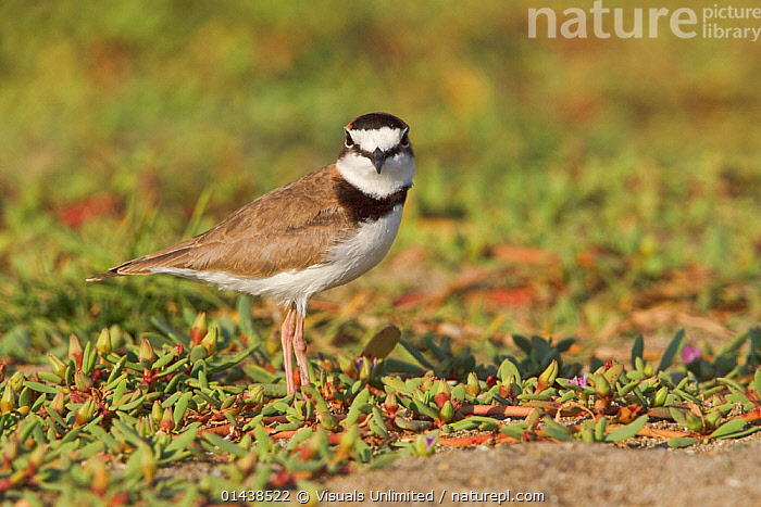 Collared Plover (Charadrius collaris) on the beach on the coast of Ecuador.  ,  BIRDS,LOOKING AT CAMERA,PLOVERS,PORTRAITS,PROFILE,SOUTH AMERICA,VERTEBRATES,WADERS  ,  Visuals Unlimited