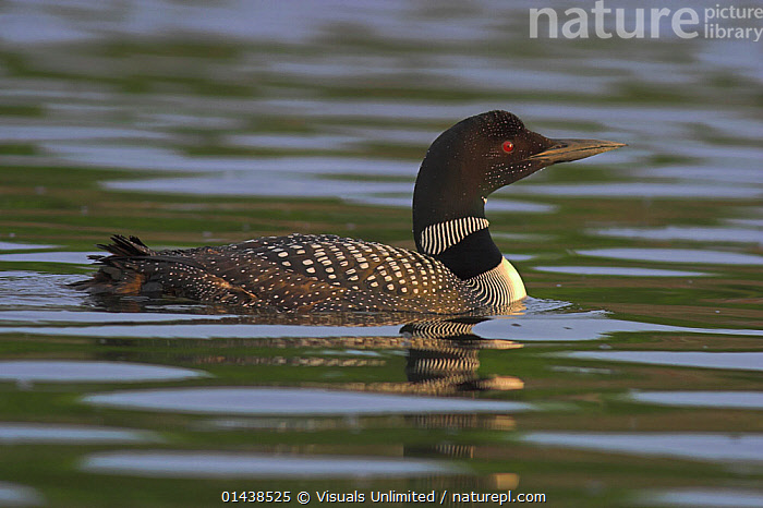 Great Northern Diver / Common Loon (Gavia immer) swimming on a lake in Ontario, Canada.  ,  BIRDS,CANADA,DIVERS,GAVIIDAE,LOONS,NORTH AMERICA,PORTRAITS,PROFILE,SWIMMING,VERTEBRATES,WATER,WATERFOWL  ,  Visuals Unlimited