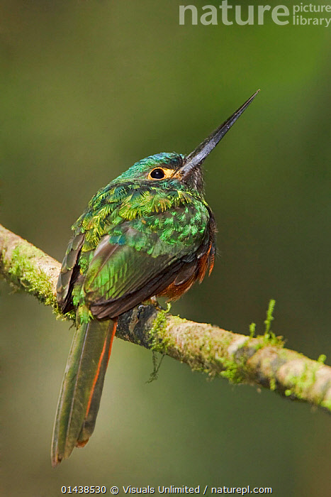 Coppery chested Jacamar (Galbula pastazae) perched on a branch, Podocarpus National Park in southeast Ecuador.  ,  BIRDS,COPYSPACE,GALBULIDAE,JACAMARS,NATIONAL PARK,NP,PORTRAITS,PROFILE,RESERVE,RESTING,SOUTH AMERICA,VERTEBRATES,VERTICAL  ,  Visuals Unlimited
