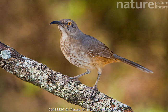 Curve billed Thrasher (Toxostoma curvirostre) on a branch in South Texas, USA.  ,  BIRDS,COPYSPACE,CUTOUT,MIMIDAE,NORTH AMERICA,PORTRAITS,PROFILE,SONGBIRDS,THRASHERS,USA,VERTEBRATES  ,  Visuals Unlimited
