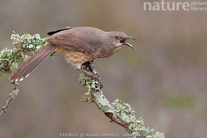Curve billed Thrasher (Toxostoma curvirostre) calling from a branch in South Texas, USA.  ,  BIRDS,CALLING,COMMUNICATION,MIMIDAE,NORTH AMERICA,PROFILE,SONGBIRDS,THRASHERS,USA,VERTEBRATES,VOCALISATION  ,  Visuals Unlimited