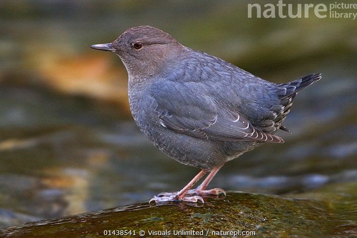 American Dipper (Cinclus mexicanus) near a stream in Victoria, British Columbia, Canada.  ,  BIRDS,CANADA,CINCLIDAE,DIPPERS,NORTH AMERICA,PORTRAITS,PROFILE,SONGBIRDS,VERTEBRATES  ,  Visuals Unlimited