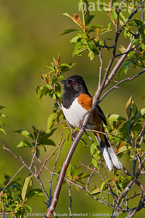 Rufous sided / Eastern Towhee (Pipilo erythrophthalmus) on a branch in Ontario, Canada.  ,  BIRDS,CANADA,EASTERN TOWHEE,EMBERIZIDAE,NORTH AMERICA,PROFILE,SONGBIRDS,TOWHEES,VERTEBRATES,VERTICAL  ,  Visuals Unlimited