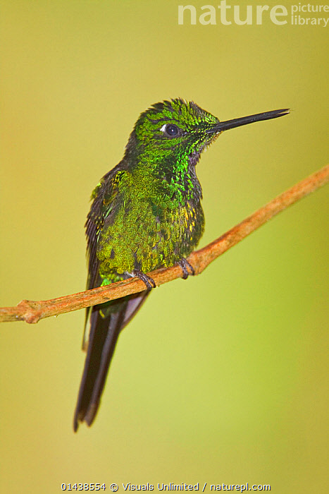 Empress Brilliant (Heliodoxa imperatrix) perched on a branch at the Mindo Loma Reserve in northwest Ecuador.  ,  BIRDS,COPYSPACE,CUTOUT,HUMMINGBIRD,HUMMINGBIRDS,IRRIDESCENT,PORTRAITS,PROFILE,SOUTH AMERICA,VERTEBRATES,VERTICAL  ,  Visuals Unlimited