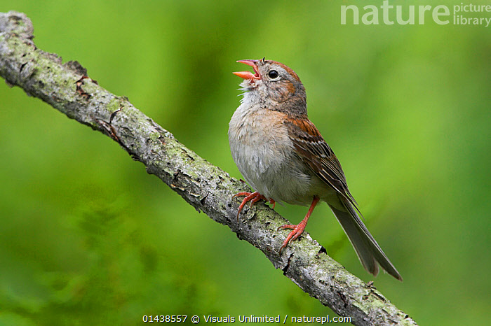 Field Sparrow (Spizella pusilla) singing from a branch, Ontario, Canada.  ,  BIRDS,CALLING,CANADA,COMMUNICATION,COPYSPACE,CUTOUT,EMBERIZIDAE,NORTH AMERICA,SINGING,SONGBIRDS,SPARROWS,VERTEBRATES,VOCALISATION  ,  Visuals Unlimited