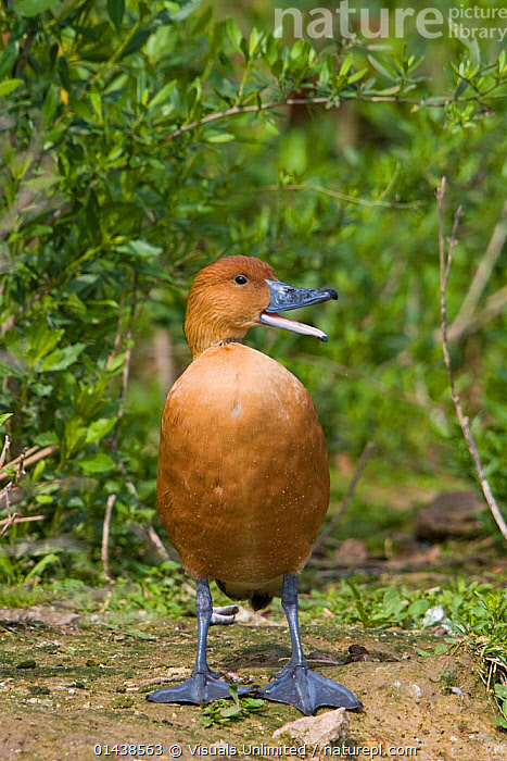 Fulvous Whistling Duck (Dendrocygna bicolor) quacking portrait, south Texas, USA.  ,  BIRDS,COMMUNICATION,NORTH AMERICA,PORTRAITS,PROFILE,QUACKING,USA,VERTEBRATES,VERTICAL,VOCALISATION,WATERFOWL,WHISTLING DUCKS  ,  Visuals Unlimited
