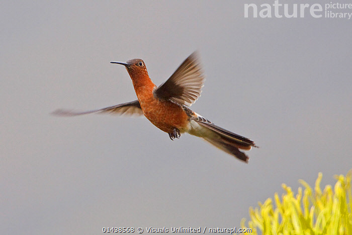 Giant Hummingbird (Patagona gigas) flying near a flower near Quito in the highlands of central Ecuador.  ,  BIRDS,BLURRED,COPYSPACE,FLIGHT,FLYING,HOVERING,HUMMINGBIRDS,MOTION,PORTRAITS,SOUTH AMERICA,VERTEBRATES  ,  Visuals Unlimited