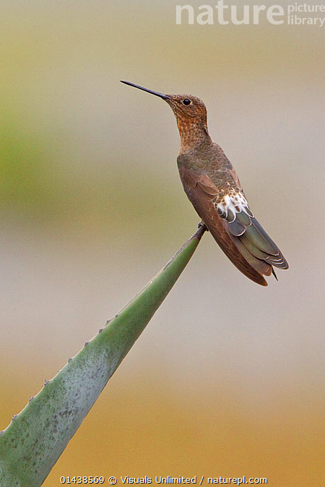 Giant Hummingbird (Patagona gigas) perched on a flowering plant near Quito in the highlands of central Ecuador.  ,  BIRDS,COPYSPACE,CUTOUT,HUMMINGBIRDS,PORTRAITS,PROFILE,SOUTH AMERICA,VERTEBRATES,VERTICAL  ,  Visuals Unlimited