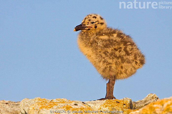 Glaucous winged Gull (Larus glaucescens) chick perched on a rock in Victoria, British Columbia, Canada.  ,  BABIES,BIRDS,CANADA,CHICKS,COPYSPACE,CUTE,CUTOUT,GULLS,JUVENILE,LARIDAE,NORTH AMERICA,PORTRAITS,PROFILE,SEABIRDS,VERTEBRATES,YOUNG  ,  Visuals Unlimited